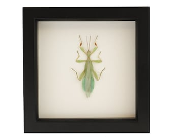 Preserved Insect Walking Leaf Insect Shadowbox Art