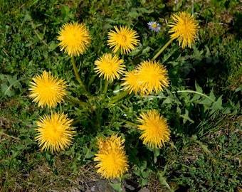 Dandelion - Edible Detoxifying Herb - Salad Greens - 25 Organic Seeds