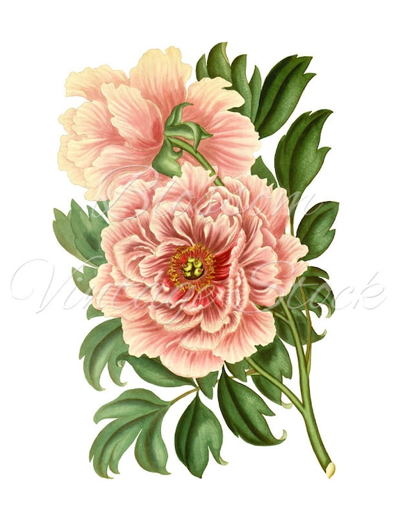 peony clipart vintage graphic pink peony digital image antique rh etsystudio com peony clipart vector peony clipart png