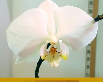 Bin Phalaenopsis Taisuko Day 'april' X... 3 1/4'' Pot  S590 # 255741
