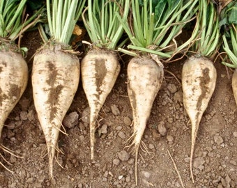 Sugar Beet Seeds, Natural Sweeteners, Non GMO Sugar Beet Seeds, Vegetables that are Seet, Vegetables used for Sugar substitutes,