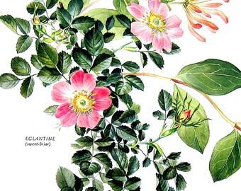 Sweet Briar Print -  1969 Vintage Colored Botanical Illustration - 6 x 9 Book Page
