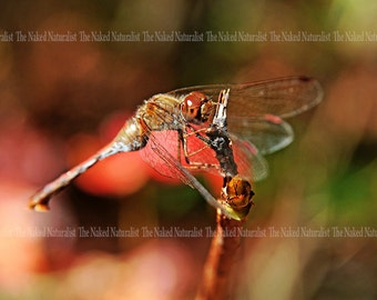 Beautiful Red Dragonfly, Nature Photography, Macro, Insect, Red, Autumn, Bokeh, Fine Art