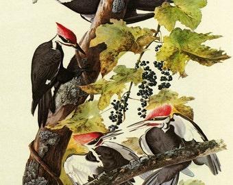 "Audubon 16"" X 20""  Pileated Woodpecker Bird American Fine Art Vintage Poster Repro FREE S/H in USA"