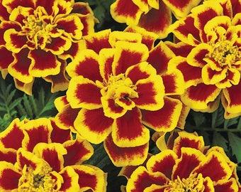 1,000 Bulk Marigold Seeds Marigold Durango Bee