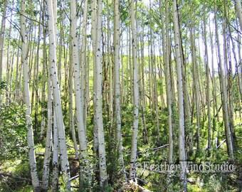 Tall Aspen Trees Photography | Wooded Colorado Hillside | Scenic Rocky Mountains | White Bark | Tree Trunks | Summer Aspen Forest Art Print