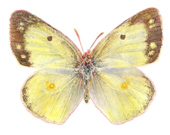 Clouded Sulphur Butterfly Watercolour Print, Butterfly Painting, Fine Art Print, Archival