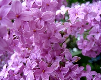 LILAC IN BLOOM - 2, or 4 fl oz  Floral  Perfume Spray, or 10 ml Parfum Oil Roll On - Notes; White Floral, Fresh, Sweet, Musky, Green