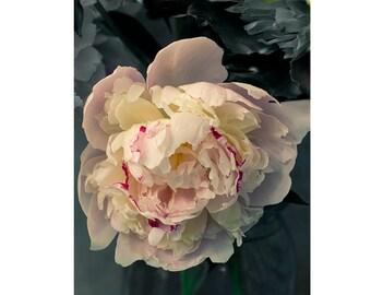 Peony Art,  Floral Wall Decor, Peony Photography, Still Life Photography, Peony Wall Art, Peony Decor