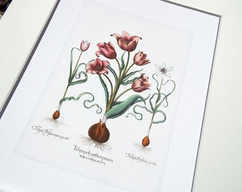 Antique Botanical Tulip Study 1 in Pinks, Corals & Green Archival Print on Watercolor Paper