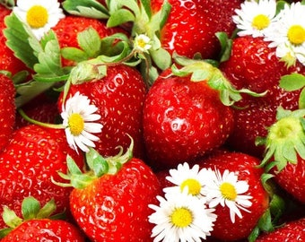 Sweet Charlie Strawberry Plants- SUPER-SWEET BERRY (Pack of 10 bare roots ) Zones 4-9. Free shiping.