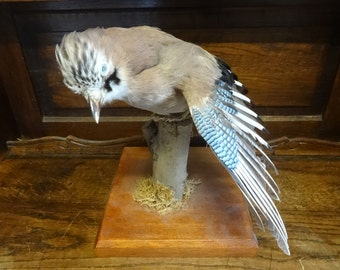taxidermiste en anglais