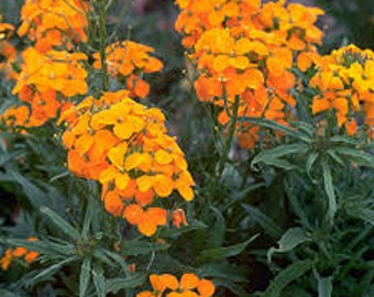 Siberian Wallflower Seeds, Cheiranthus Allionii, Butterfly Flower, Wildflower, Annual, Happy, Happy Orange