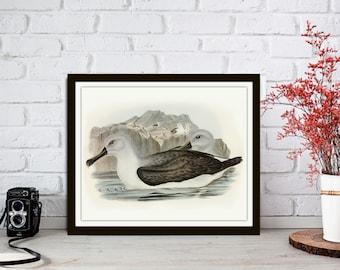 Albatros art print,vintage bird page,antique bird prints,,digital albatros print,bird illustrations,wall art,albatros illustration