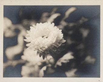 vintage photo Chrysanthemum Flower Singular Nature's Beauty 1920