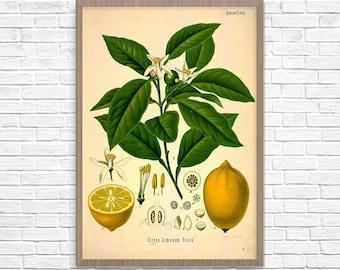 Lemon Botanical Art Print, Vintage Botanical Home Decor, Lemon Poster, Kitchen Poster, Kitchen Illustration 1887, Giclee Print