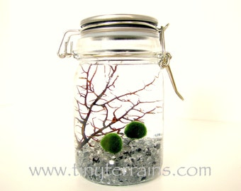 Marimo Terrarium: Terrarium Kit, Japanese Marimo Moss Balls, 23 Colors, Personalized, Fast Shipping, Gift Wrap, Card