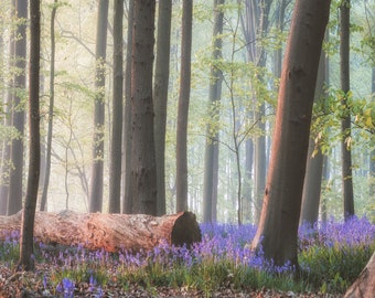 Bluebells on the Forest Floor Trees Woods Large Canvas Picture Floral Wall Art