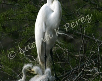 Egret Mother with babies in nest