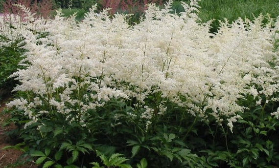 Astilbe astilbe deutschland perennial plants live plants astilbe astilbe deutschland perennial plants live plants shade plants white flowers astilbe plants woodland shade plants mightylinksfo Image collections