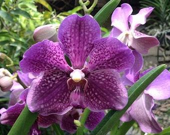Orchid - Vanda Mamo Somjit Bangyikhan Blue ….. Stock #326