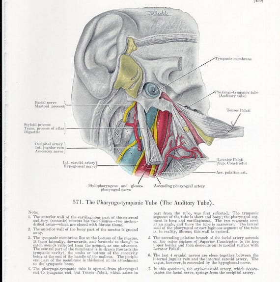 Auditory Tube Temporal Bone At Birth On The Reverse Side Of The
