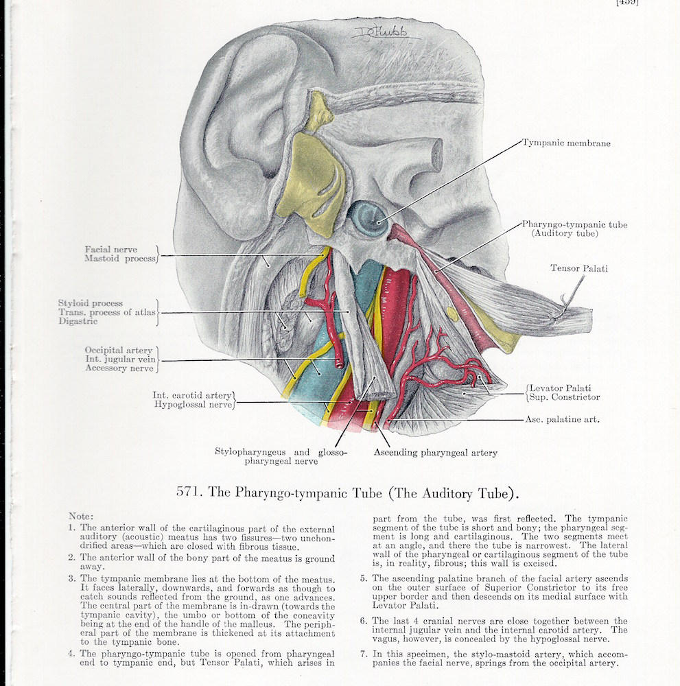Auditory Tube & Temporal Bone at Birth on the Reverse Side of