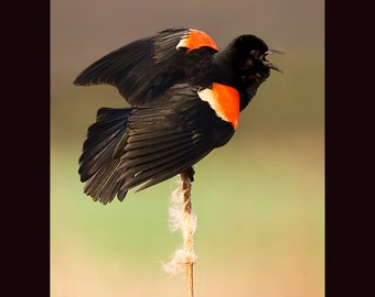 Red winged blackbird photograph- 5 x 7 matted