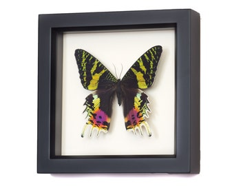 Framed Moth Display Madagascar Sunset Insect Taxidermy