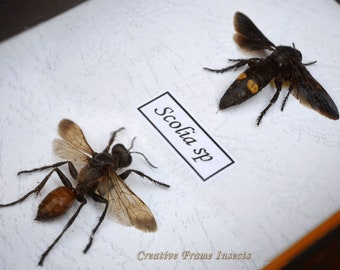 Set of Real Wasp From Kazakhstan In Quality Shadowbox