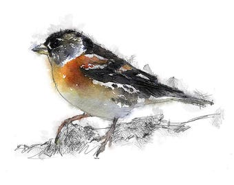 Brambling sketch | Limited edition fine art print from original drawing. Free shipping.