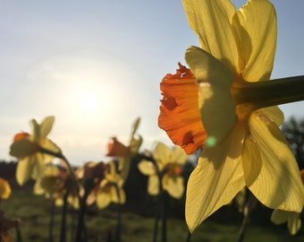 Daffodils - Sun worshippers - canvas - wall art - digital print