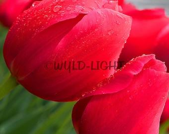 Red Tulips Close Up! 16031 Flower Wall Art Home Decor Art Modern Art Floral Photography Flower Art Flower Photography Tulip Photo