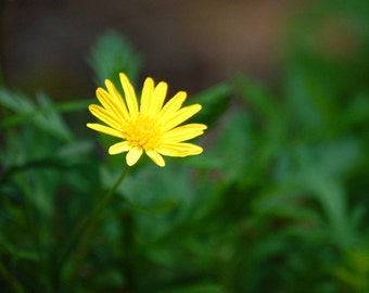 Simply Sweet - Yellow Daisy - Nature - Fine Art Photograph by Kelly Warren