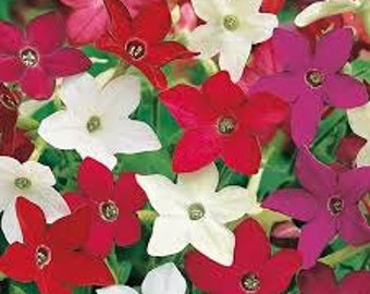 Nicotiana Seeds Mixed Colors, Flowering Tobacco, Heirloom Plant, Attracts Birds and Butterflies