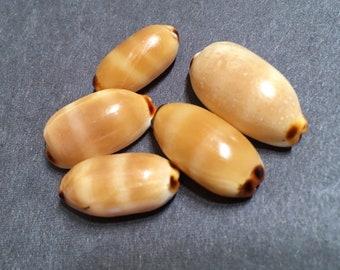 Cypraea (Luria) isabella controversa Hawaii isabella cowrie set of 5