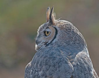 Great Horned Owl profile, nature photography