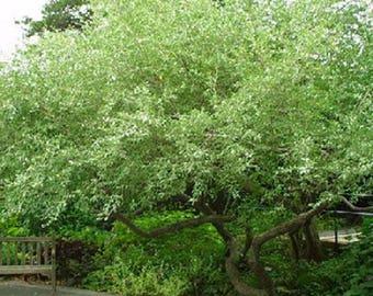 100 Autumn Olive Tree Seeds, Elaeagnus Umbellata