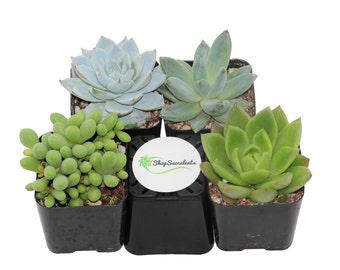 "2"" Blue/Green Succulents Plant Collection - live succulents, potted succulents, bulk succulents, wholesale succulents, succulent gifts"