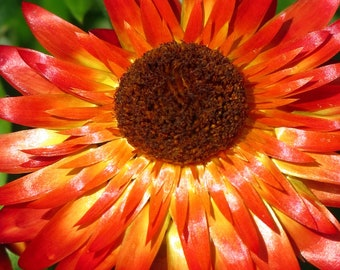 Red & Yellow Gerbera Daisy