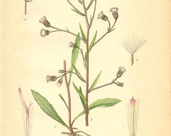 BITTER FLEABANE - Botanical Book Page plate 34