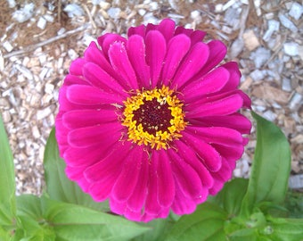 Seeds Zinnia Royal Purple
