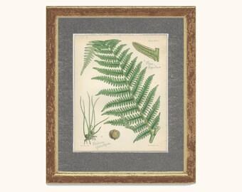 Rare, Bracken, Pepper Grass, Pillwort, Antique Botanical Fern Print 17, 1851, British Natural History, Fitch, Hand Colored
