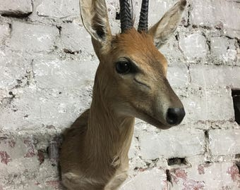 Duiker Taxidermy shoulder mount