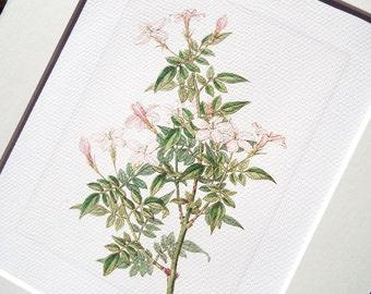 Pink Jasmine Flower Botanical Naturalist Study Archival Print on Watercolor Paper