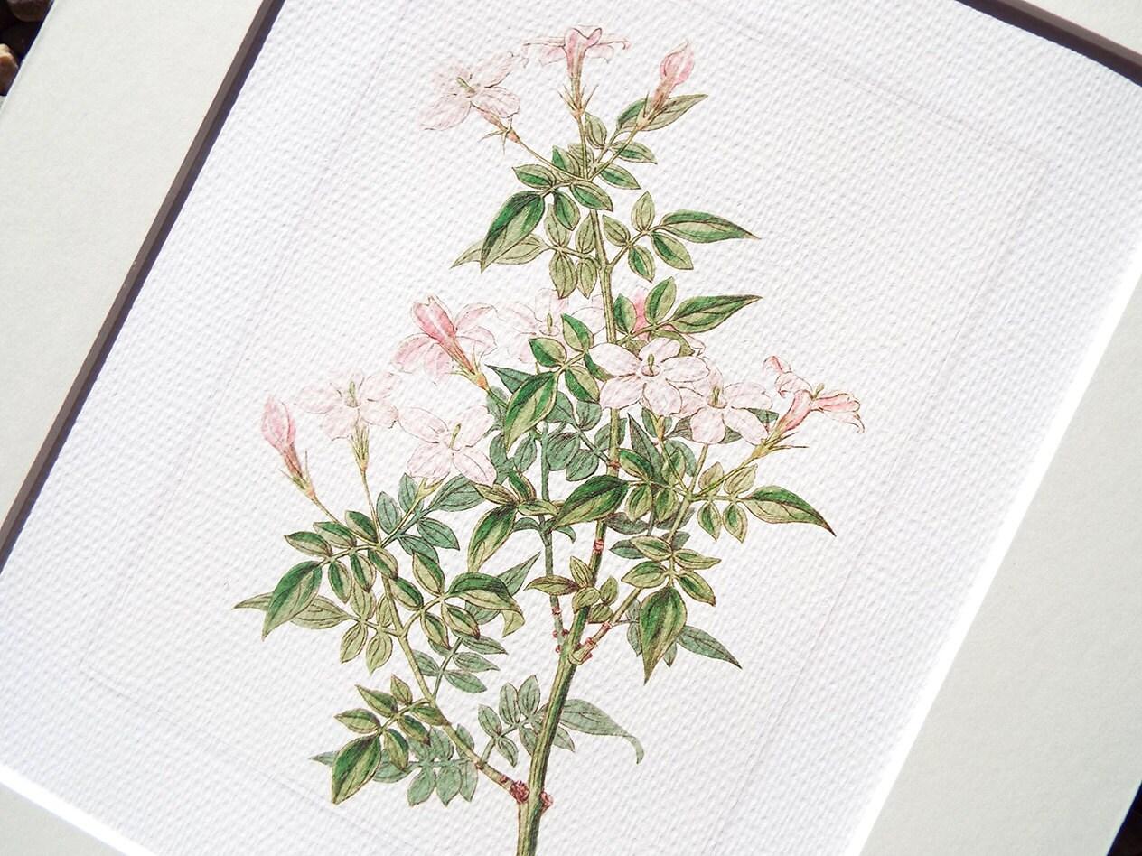 Pink jasmine flower botanical naturalist study archival print zoom izmirmasajfo