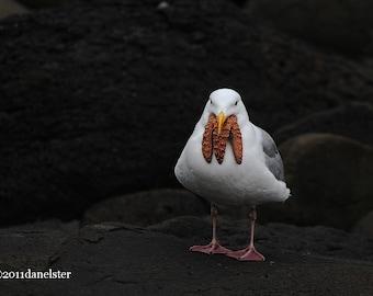 Fine Art Gull Photograph, Gull Swallowing a Sea Star, Seagull Photograph, Seagull Swallowing Starfish, Fine Art Gull Photograph