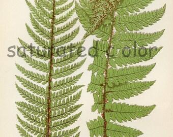 Antique Fern Chromolithograph Original Print - Green Fern Frond - Antique 1874 Edward Lowe Fern - No.19 - woodland flora