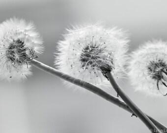 "Black and white Dandelion Art - dandelions against gray 11x14 8x10 prints 16x24 black and white prints minimal 24x36 ""Yearning"""