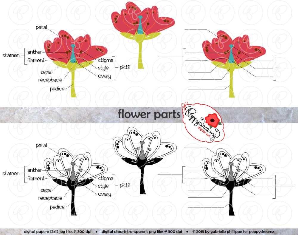 Flower parts science diagram clipart set 300 dpi school zoom pooptronica
